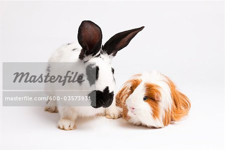 English Spot Rabbit and Long Haired Guinea Pig Stock Photo - Premium Royalty-Free, Image code: 600-03573931