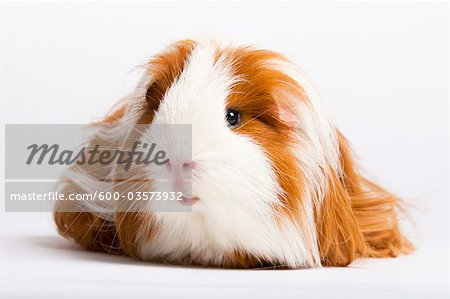 Portrait of Long Haired Guinea Pig Stock Photo - Premium Royalty-Free, Image code: 600-03573932
