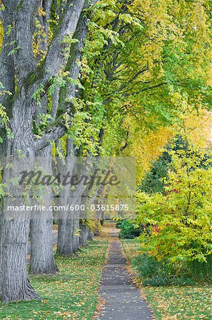 Elm Trees, 13th Avenue, West Point Grey, Vancouver, British Columbia, Canada Stock Photo - Premium Royalty-Free, Image code: 600-03615875