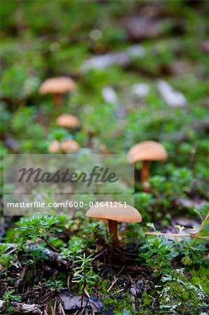 Mushrooms in Garibaldi Provincial Park, British Columbia, Canada Stock Photo - Premium Royalty-Free, Image code: 600-03641251