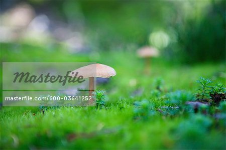 Mushrooms in Garibaldi Provincial Park, British Columbia, Canada Stock Photo - Premium Royalty-Free, Image code: 600-03641252