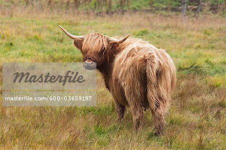Highland Cattle Stock Photo - Premium Royalty-Free, Image code: 600-03659197