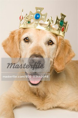 Portrait of Golden Retriever Wearing a Crown Stock Photo - Premium Royalty-Free, Image code: 600-03660048