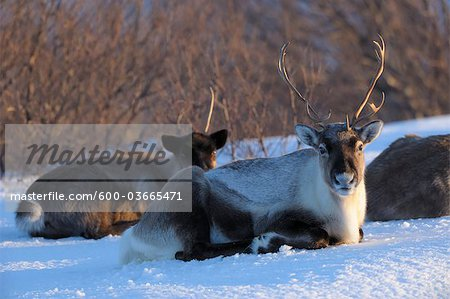 Reindeer, Kvaloy, Sandvika, Troms, Norway Stock Photo - Premium Royalty-Free, Image code: 600-03665471