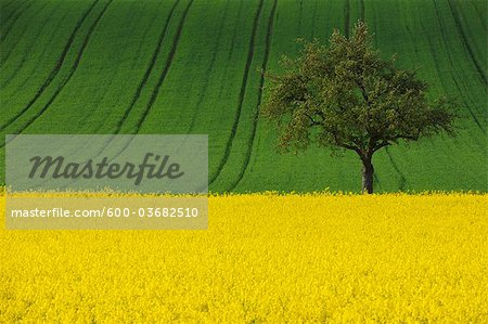 Canola Field and Apple Tree, Spessart, Bavaria, Germany Stock Photo - Premium Royalty-Free, Image code: 600-03682510