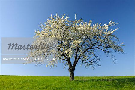 Cherry Tree, Odenwald, Hesse, Germany Stock Photo - Premium Royalty-Free, Image code: 600-03697854