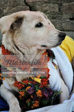 Portrait of Dog, Pashupatinath Temple, Kathmandu, Bagmati, Madhyamanchal, Nepal Stock Photo - Premium Royalty-Free, Image code: 600-03737758
