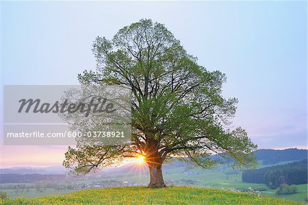 Lime Tree in Spring at Sunrise, Heimhofen, Allgau, Bavaria, Germany Stock Photo - Premium Royalty-Free, Image code: 600-03738921
