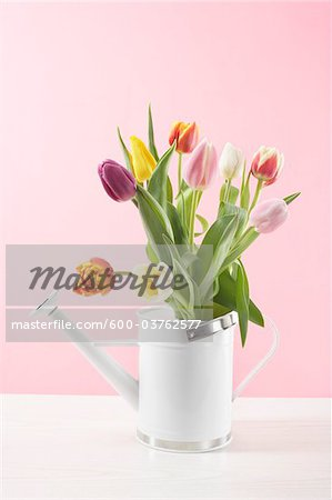 Tulips in Watering Can Stock Photo - Premium Royalty-Free, Image code: 600-03762577