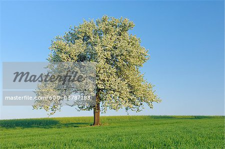 Pear Tree in Bloom in Meadow, Mettlach, Merzig-Wadern District, Saarland, Germany Stock Photo - Premium Royalty-Free, Image code: 600-03787183