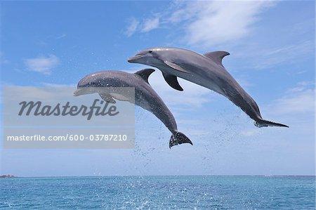 Common Bottlenose Dolphins Jumping in Air, Caribbean Sea, Roatan, Bay Islands, Honduras