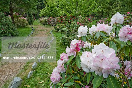 Rhododendrons in Woodland Gardens, Courtenay, British Columbia, Canada Stock Photo - Premium Royalty-Free, Image code: 600-03814555