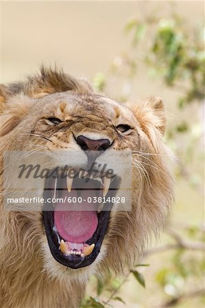 Young Male Lion Roaring, Masai Mara National Reserve, Kenya Stock Photo - Premium Royalty-Free, Image code: 600-03814828