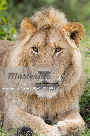 Young Male Lion, Masai Mara National Reserve, Kenya