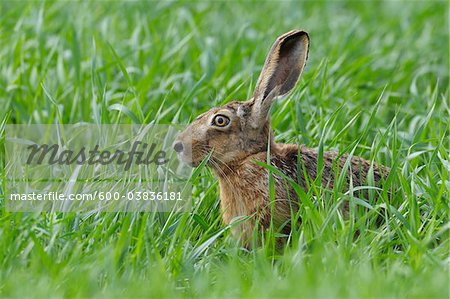 European Brown Hare, Hesse, Germany Stock Photo - Premium Royalty-Free, Image code: 600-03836181