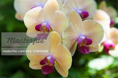 Close-up of Phalaenopsis Orchids, Botanical Garden, Big Island Hawaii, Hawaii, USA Stock Photo - Premium Royalty-Free, Image code: 600-03849484
