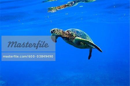 Underwater View of Green Sea Turtle, Maui, Hawaii, USA