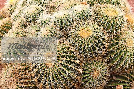 Golden Barrel Cactus, Jardin Majorelle, Marrakech, Marrakech-Tensift-El Haouz Region, Morocco Stock Photo - Premium Royalty-Free, Image code: 600-03901040