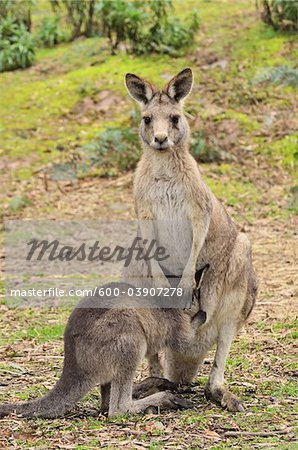 Eastern Grey Kangaroos, Tasmania, Australia Stock Photo - Premium Royalty-Free, Image code: 600-03907278