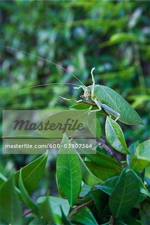 Leaf Insect, East Malaysia, Malaysia