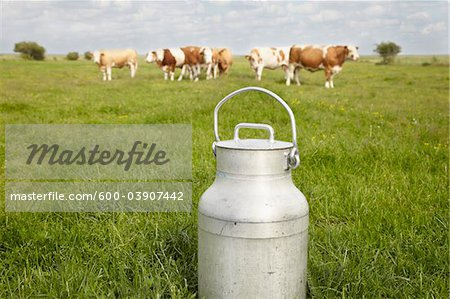 Milk Can and Cows in Field, Havneby, Syddanmark, Denmark Stock Photo - Premium Royalty-Free, Image code: 600-03907442