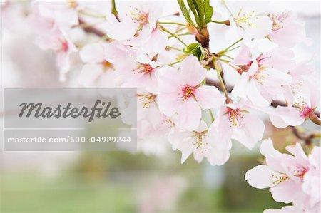 Close-up of Akebono Cherry Tree Blossoms, Washington, D.C., USA