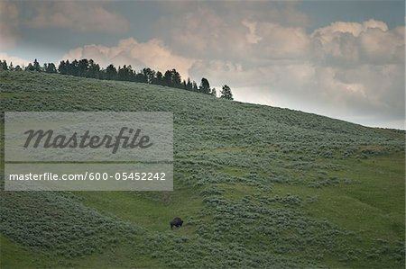 Bison on Hillside, Yellowstone National Park, Wyoming, USA Stock Photo - Premium Royalty-Free, Image code: 600-05452242