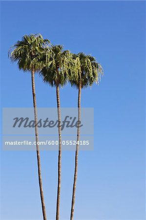 Palm Trees, Palm Springs, California, USA
