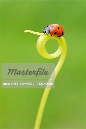 Seven Spot Ladybird on Tendril Stock Photo - Premium Royalty-Free, Image code: 600-05524588
