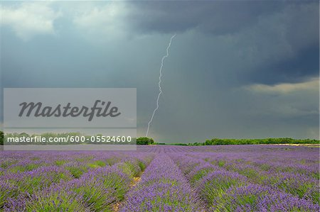 Lightning Storm over Lavender Field, Valensole Plateau, Alpes-de-Haute-Provence, Provence, France Stock Photo - Premium Royalty-Free, Image code: 600-05524600