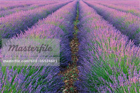 English Lavender Field, Valensole, Valensole Plateau, Alpes-de-Haute-Provence, Provence-Alpes-Cote d´Azur, Provence, France Stock Photo - Premium Royalty-Free, Artist: Martin Ruegner, Code: 600-05524601