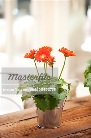 Gerber Daisy on Table, Ontario, Canada Stock Photo - Premium Royalty-Free, Image code: 600-05602735