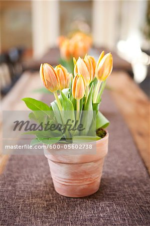 Tulips on Table, Ontario, Canada Stock Photo - Premium Royalty-Free, Image code: 600-05602738