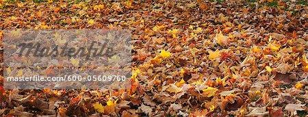 Autumn Leaves, Ontario, Canada