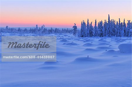 Snow Covered Spruce Trees at Dusk, Nissi, Northern Ostrobothnia, Finland Stock Photo - Premium Royalty-Free, Image code: 600-05610007