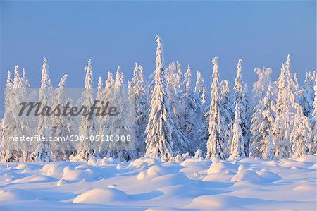 Snow Covered Spruce Trees, Nissi, Northern Ostrobothnia, Finland Stock Photo - Premium Royalty-Free, Image code: 600-05610008
