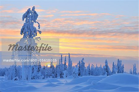 Snow Covered Tree at Sunset, Nissi, Northern Ostrobothnia, Finland