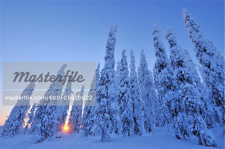 Snow Covered Spruce Trees at Sunrise, Kuusamo, Northern Ostrobothnia, Finland Stock Photo - Premium Royalty-Free, Image code: 600-05610022