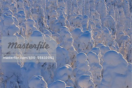 Snow Covered Trees at Sunrise, Rukatunturi, Kuusamo, Northern Ostrobothnia, Finland Stock Photo - Premium Royalty-Free, Image code: 600-05610061
