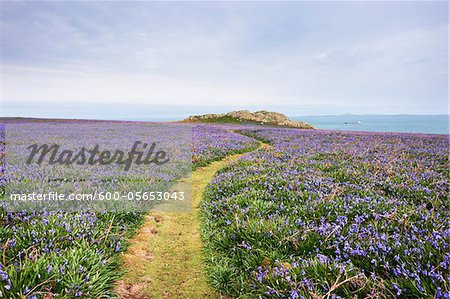 Footpath and Bluebells, Skomer Island, Pembrokeshire Coast National Park, Pembrokeshire, Wales Stock Photo - Premium Royalty-Free, Image code: 600-05653043