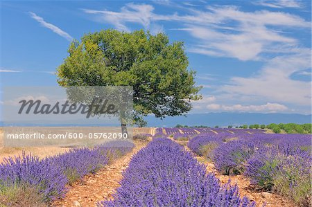 English Lavender Field with Tree, Valensole, Valensole Plateau, Alpes-de-Haute-Provence, Provence-Alpes-Cote d´Azur, France Stock Photo - Premium Royalty-Free, Image code: 600-05762090
