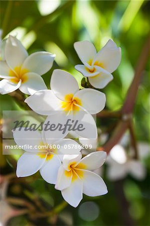 Close-up of Plumeria Obtusa Stock Photo - Premium Royalty-Free, Image code: 600-05786209