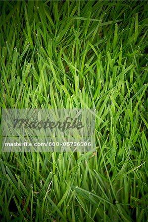 Grass, Bradford, Ontario, Canada