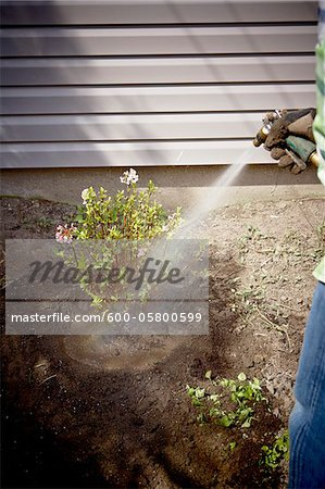 Gardener Watering freshly Planted Daphne Shrub, Toronto, Ontario, Canada Stock Photo - Premium Royalty-Free, Image code: 600-05800599