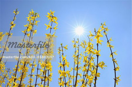 Blooming Forsythia with Sun, Franconia, Bavaria, Germany Stock Photo - Premium Royalty-Free, Image code: 600-05803197