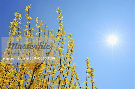 Blooming Forsythia with Sun, Franconia, Bavaria, Germany Stock Photo - Premium Royalty-Free, Image code: 600-05803198