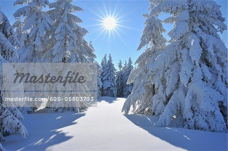 Snow Covered Conifer Trees with Sun, Grosser Beerberg, Suhl, Thuringia, Germany Stock Photo - Premium Royalty-Free, Image code: 600-05803703
