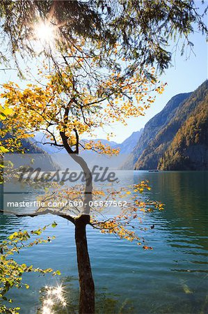 Beech Tree in Autumn, Lake Koenigssee, Berchtesgadener Land, Bavaria, Germany Stock Photo - Premium Royalty-Free, Image code: 600-05837562