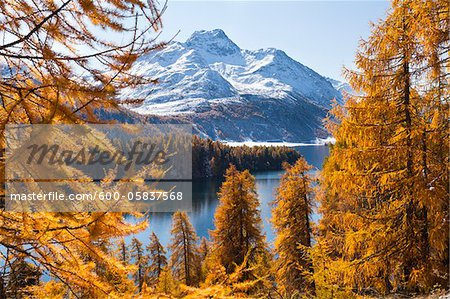 Larch Trees by Lake Sils and Piz de la Margna, Engadin, Switzerland Stock Photo - Premium Royalty-Free, Image code: 600-05837568