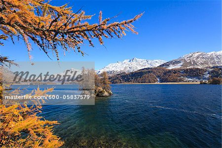 Larch Trees on Island in Lake Sils with Piz Corvatsch, Engadin, Switzerland Stock Photo - Premium Royalty-Free, Image code: 600-05837579